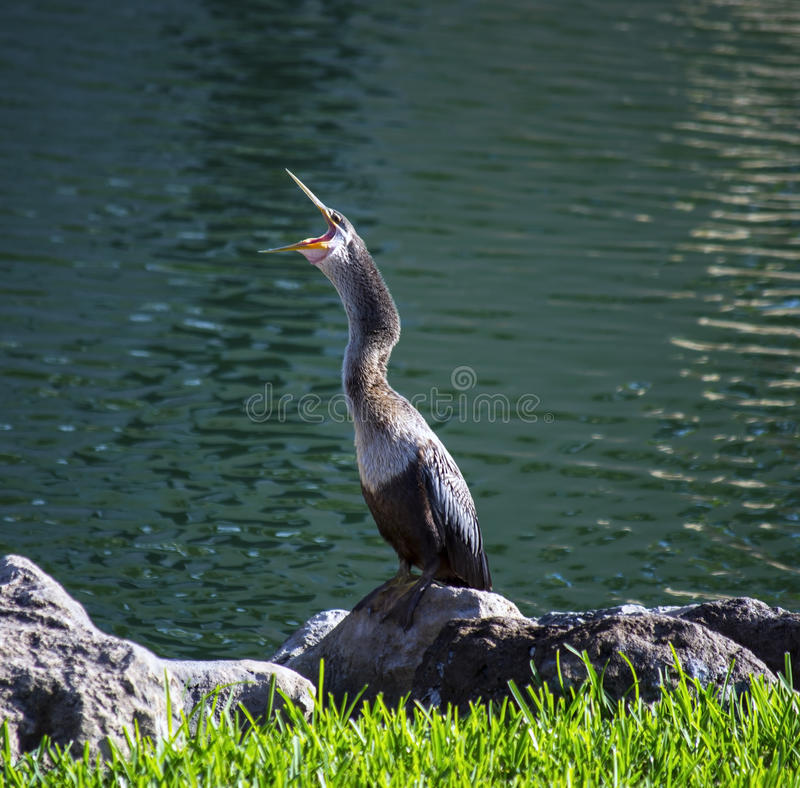 Free Cormorant On A Rock Royalty Free Stock Photography - 32957487