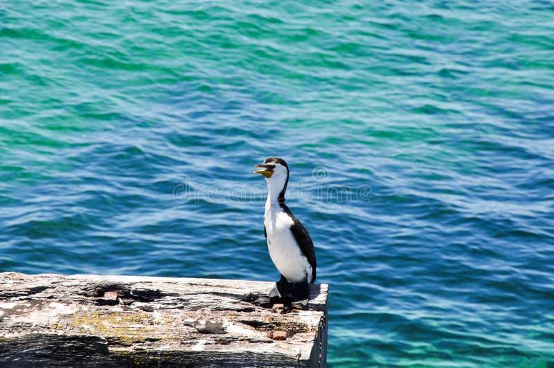 Cormorant pezzato con acque dell'Oceano Indiano immagine stock