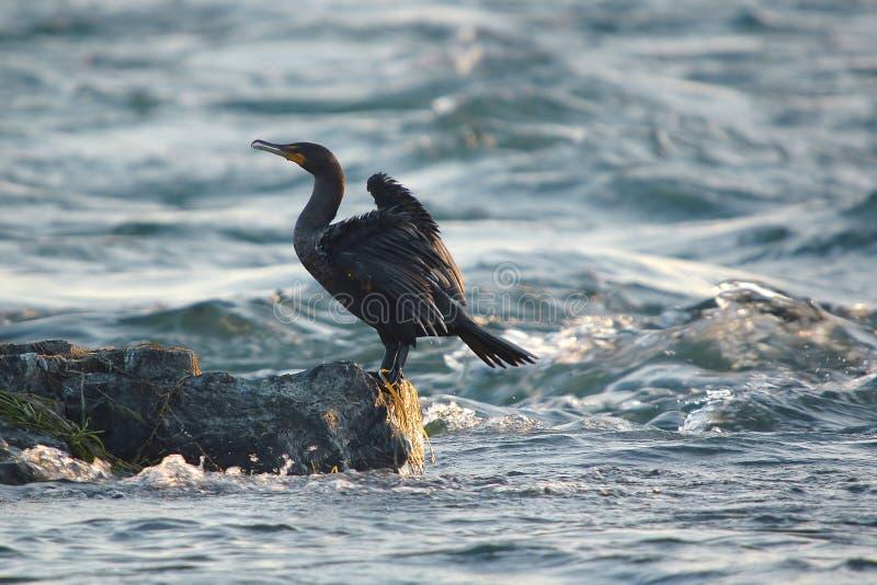 Cormorant on rock stock photos