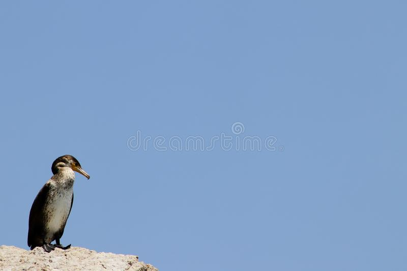 Cormorant on the rock on clean blue sky background. Copy space for text, design template. Cormorant on the rock on clean blue sky background. Copy space for royalty free stock image