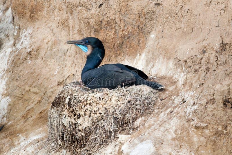 cormorant s brandt стоковое изображение rf