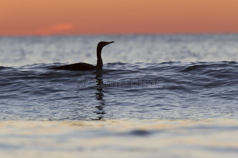 A cormorant swimming in the golf of Mexico with a dramatic sunset seen from For Myers Beach, Florida, USA.  stock images