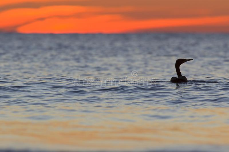 A cormorant swimming in the golf of Mexico with a dramatic sunset seen from For Myers Beach, Florida, USA.  royalty free stock photo
