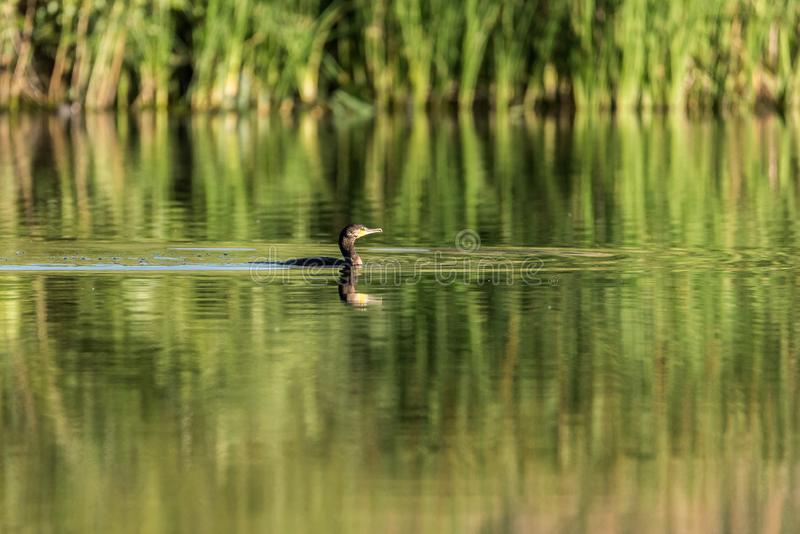 Cormorant swimming in a lake. Of Spain at dawn stock images