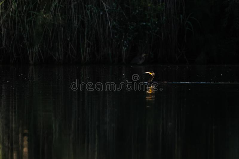 Cormorant swimming in a lake. Of Spain at dawn royalty free stock images