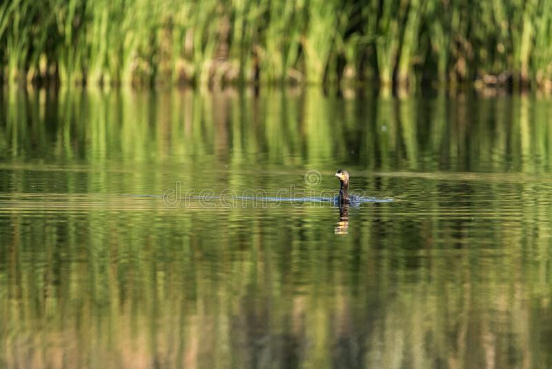 Cormorant swimming in a lake. Of Spain at dawn stock photos