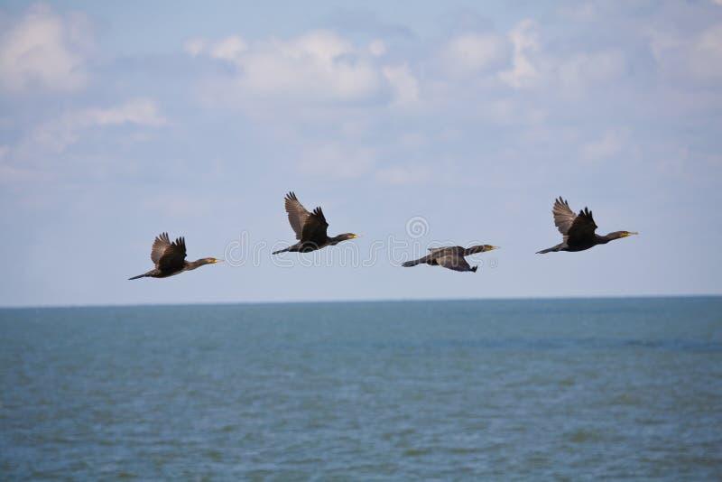Cormorants fotografia de stock royalty free