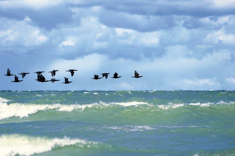 cormorants fotografía de archivo