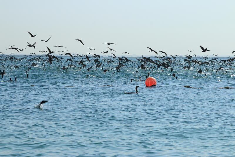 cormorants imagem de stock royalty free