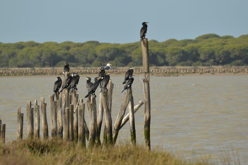 cormorants fotografia stock libera da diritti