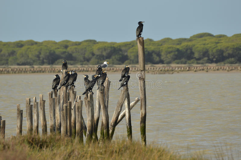 cormorants foto de stock royalty free