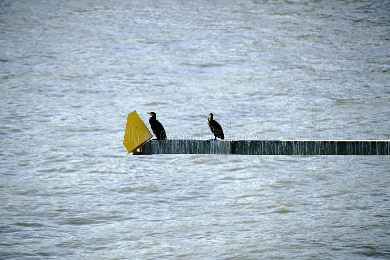 cormorants fotos de stock