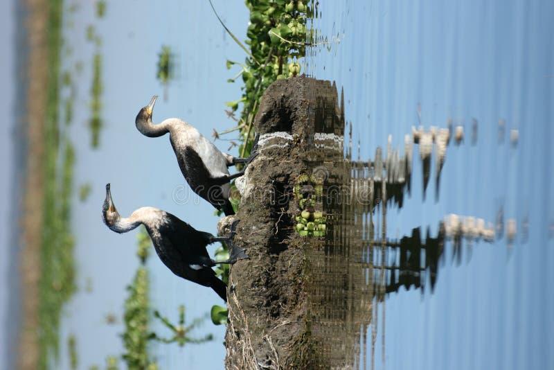 Cormorants Branco-necked imagem de stock