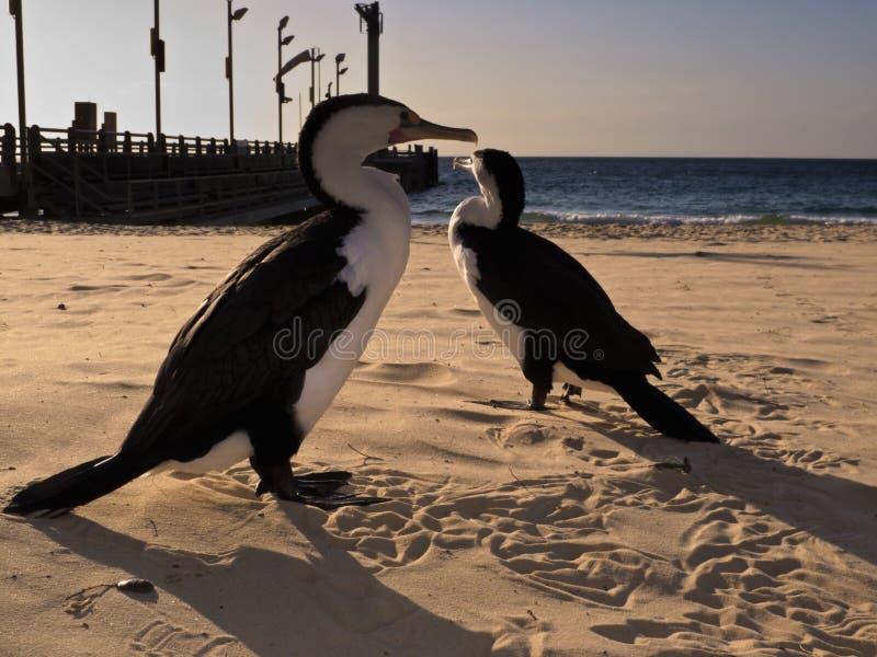 Cormorants che camminano sulla spiaggia all'isola di Moreton, AU fotografia stock libera da diritti