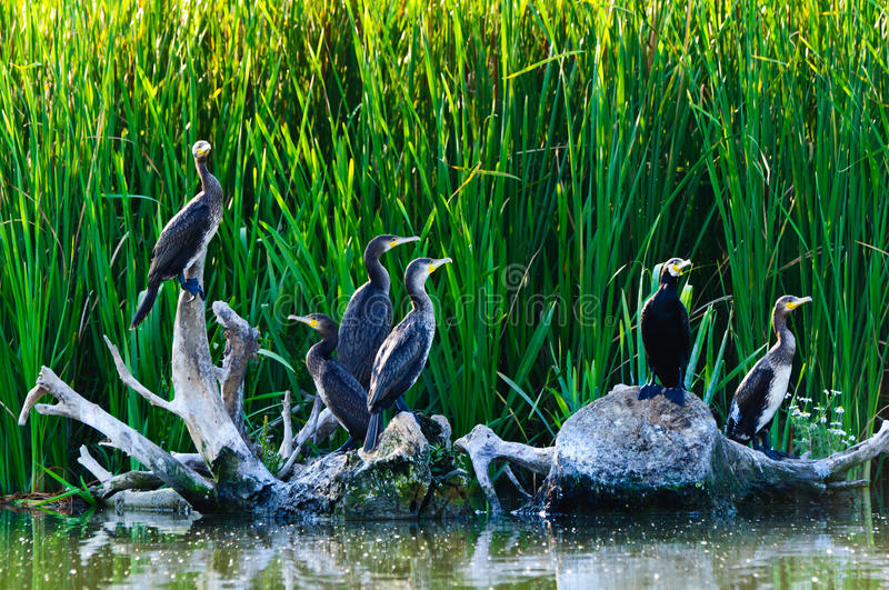 Cormorants in the danube delta royalty free stock photo