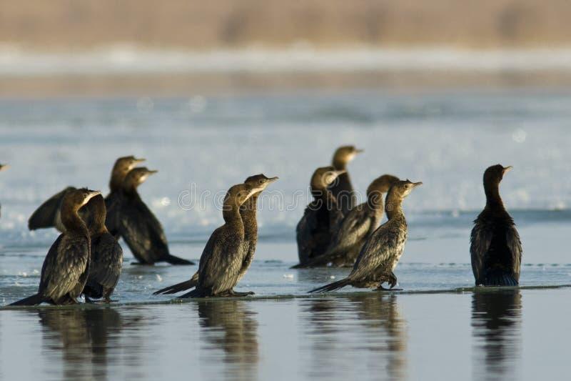 Cormorants do pigmeu no gelo imagem de stock