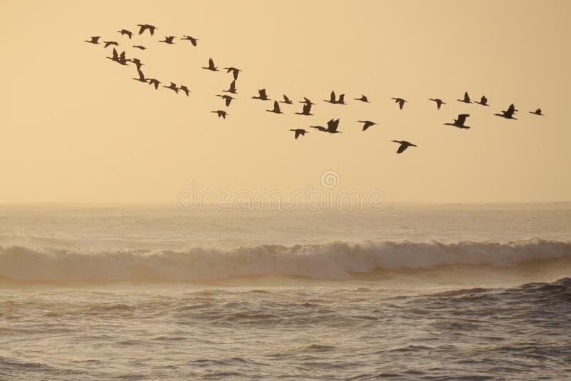 Cormorants do vôo fotografia de stock royalty free