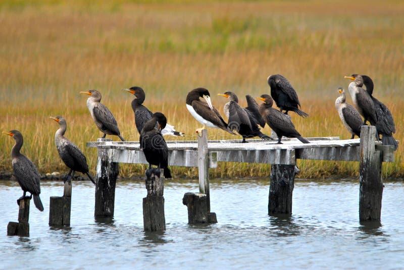 Cormorants e Booby foto de stock royalty free