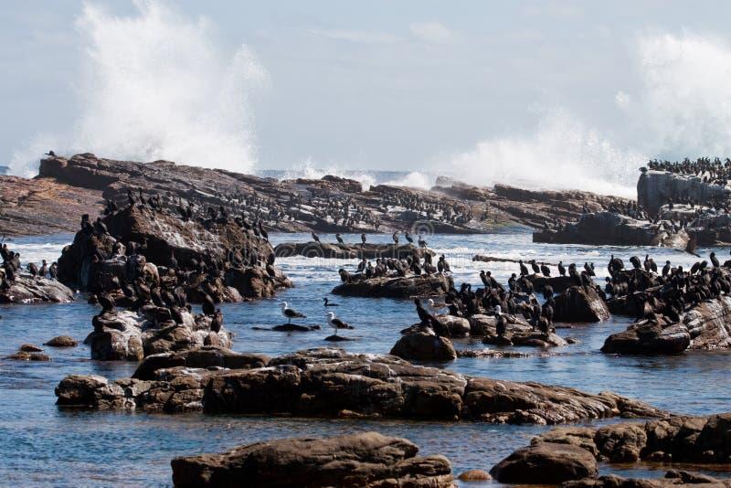 Cormorants e rochas 4532 fotografia de stock royalty free