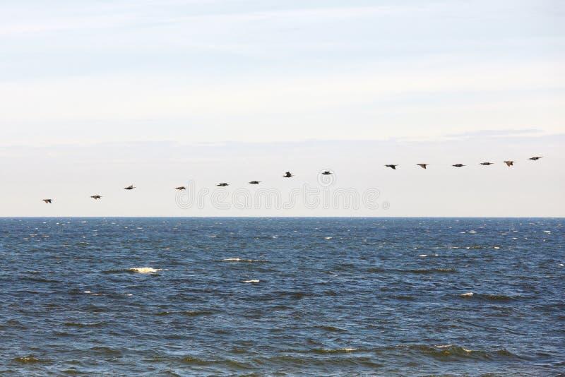 Cormorants flock. Flock of cormorants above blue sea royalty free stock image
