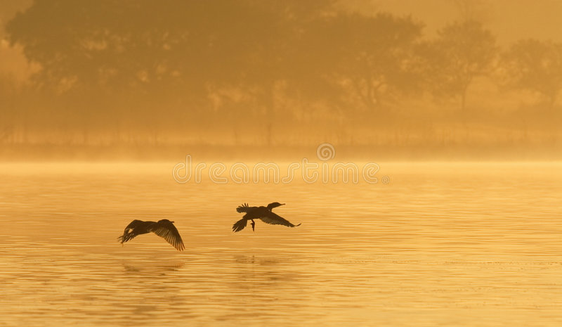 Download Cormorants on Foggy Pond stock photo. Image of pond, mist - 215368
