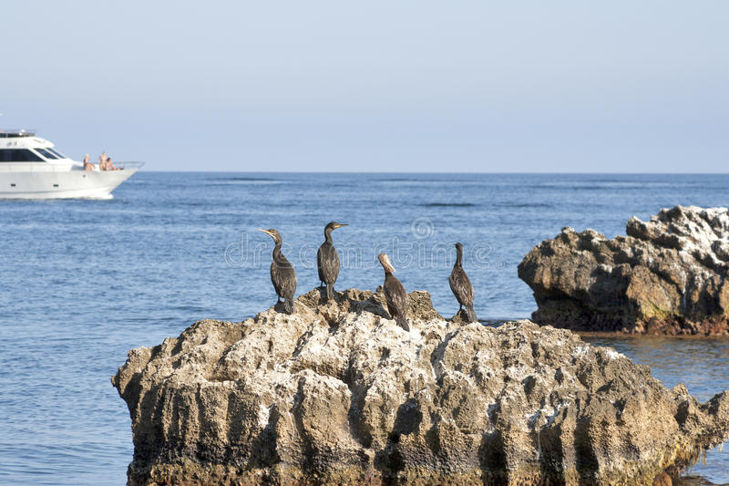 Cormorants marinhos na rocha do mar fotografia de stock royalty free