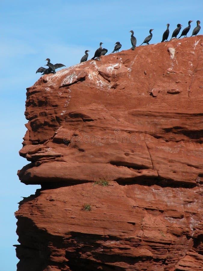 Cormorants nos penhascos vermelhos de Prince Edward Island imagem de stock