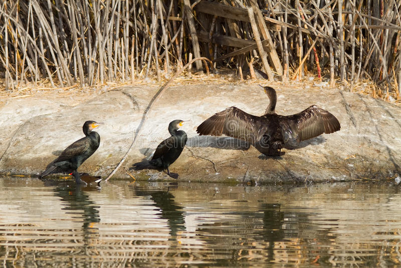 Cormorants pela água fotos de stock royalty free