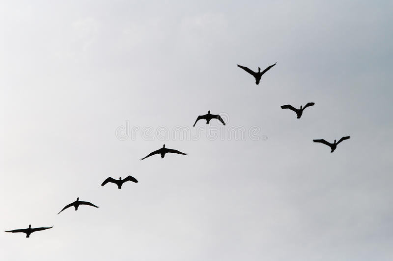 Cormorants Phalacrocorax carbo group silhouette flying high up in a V formation against the cloudy sky. Bird migration concept. royalty free stock photos