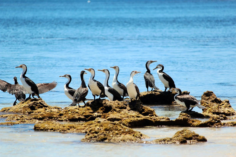 Cormorants Pied pequenos em rochas Mossy imagem de stock
