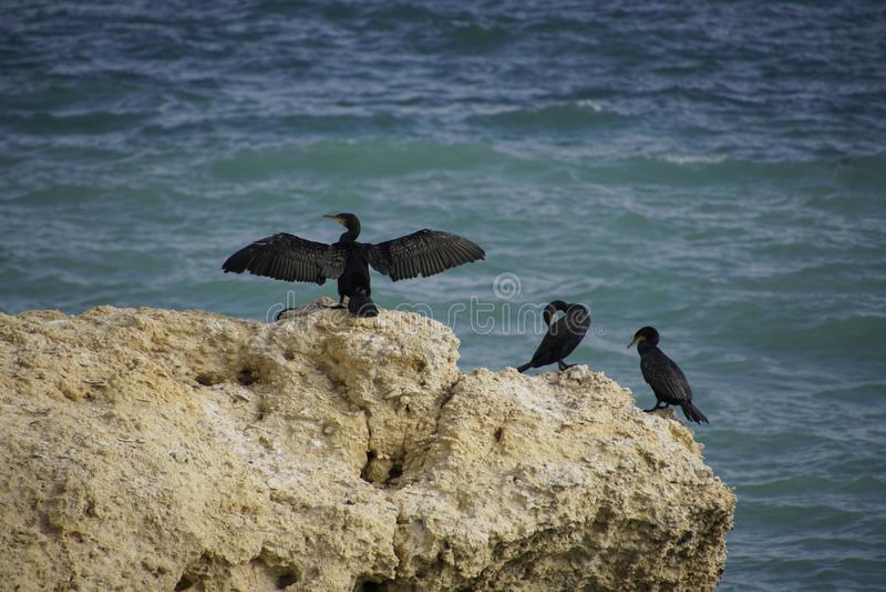 Cormorants pretos Rocha no oceano O pássaro seca suas penas no vento e no sol, espalhando belamente suas asas foto de stock royalty free