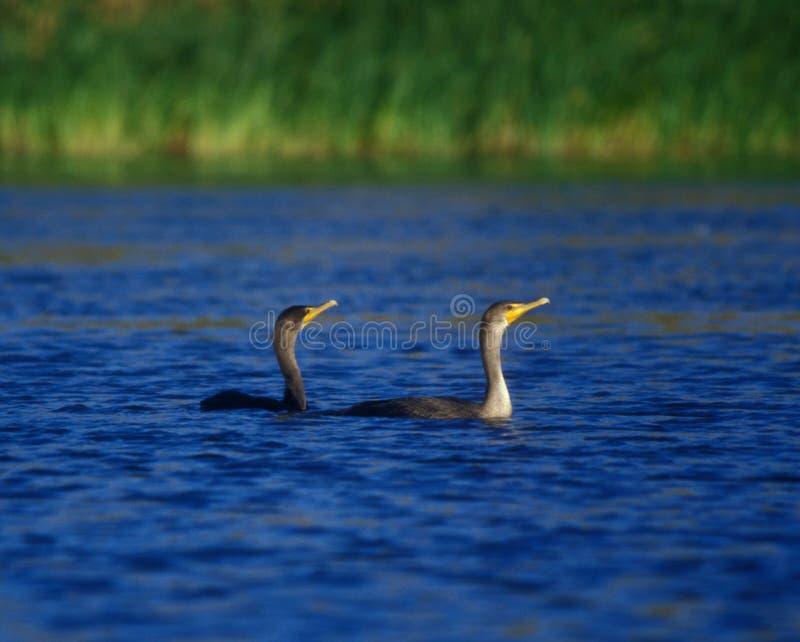 Cormorants que nadam imagens de stock