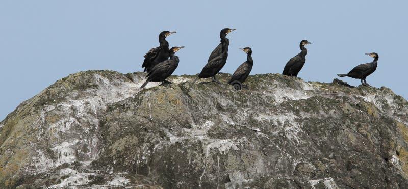 Cormorants que Sunbathing foto de stock
