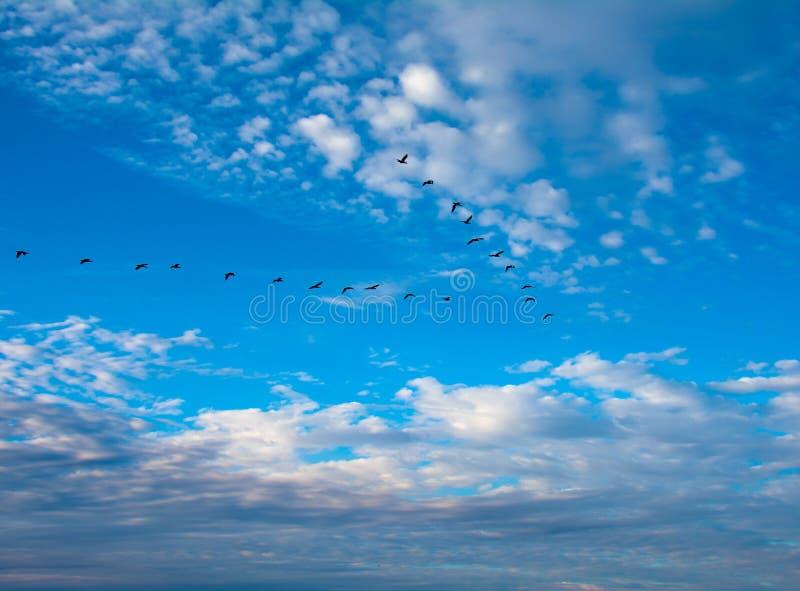 Cormorants in a V Formation. Cormorants flying in a V formation head seaward as the sun nears the horizon royalty free stock photos