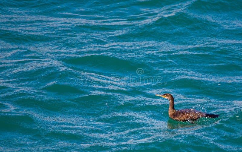 Cormrant w morzu obraz stock