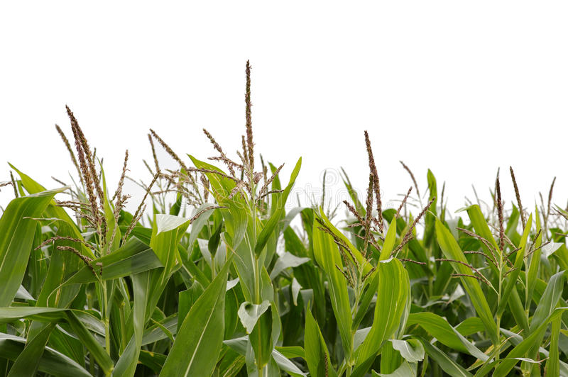 Download Corn stock image. Image of farm, nature, leafs, green - 10602723