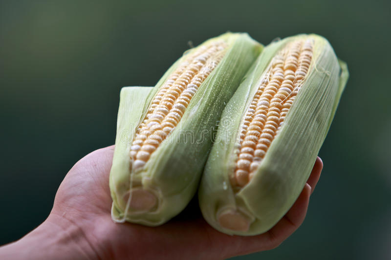 Corn. Woman Hand Holding Two Freshly Corn royalty free stock image