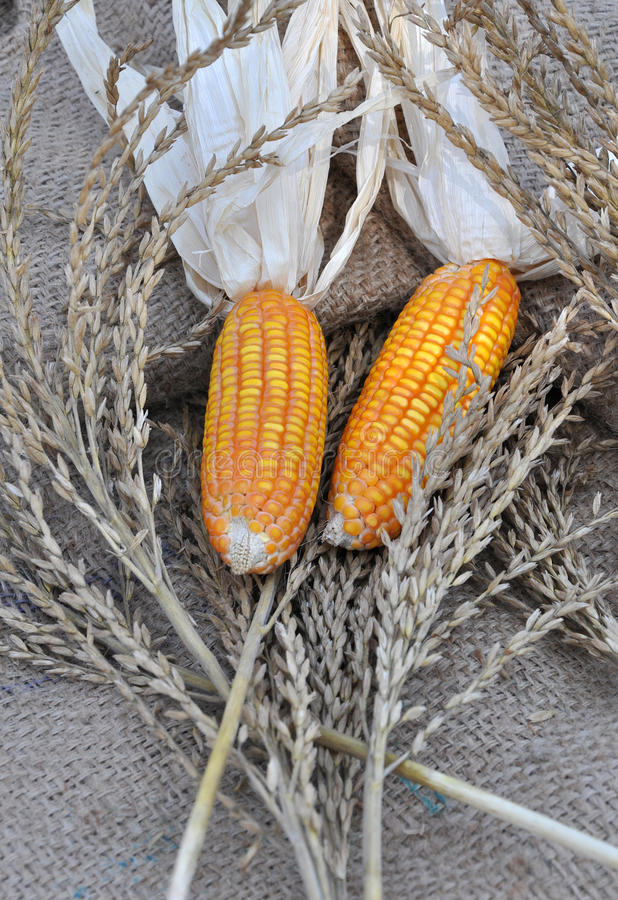 Download Corn stock photo. Image of yellow, leaves, seeds, agricultural - 13909410