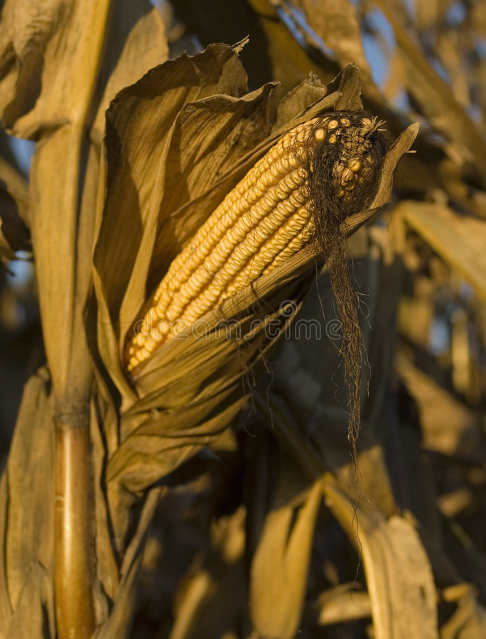 Download Corn Royalty Free Stock Photography - Image: 1403247
