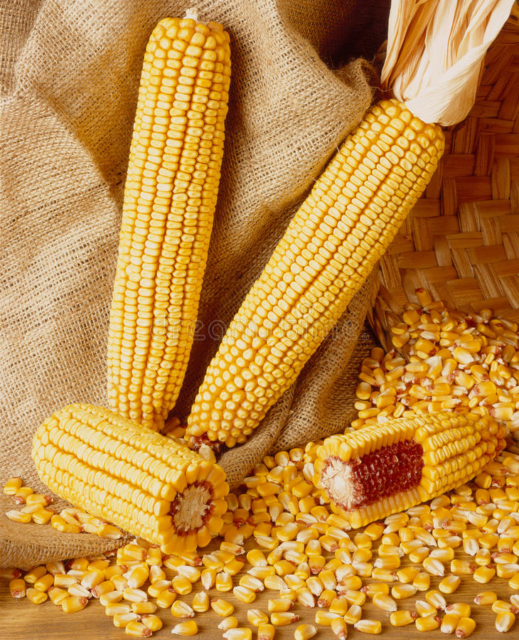 Download Corn stock photo. Image of organic, cereal, natural, nutrition - 16333488