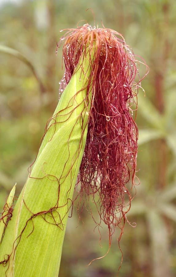 Download Corn stock image. Image of drops, plants, ingredient - 16924747