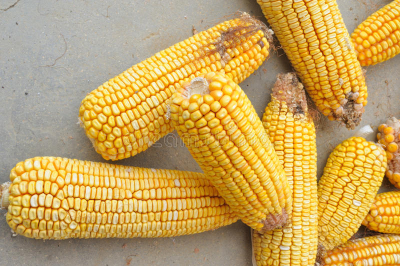 Download Corn stock photo. Image of macro, nutritious, group, fitness - 20686686