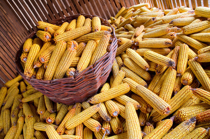 Download Corn Royalty Free Stock Photography - Image: 22507697