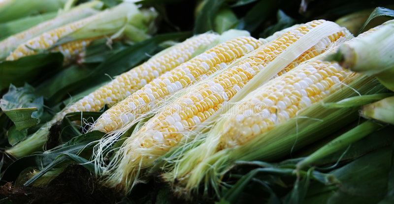 Download Corn stock photo. Image of yellow, vegetables, food, agriculture - 225942