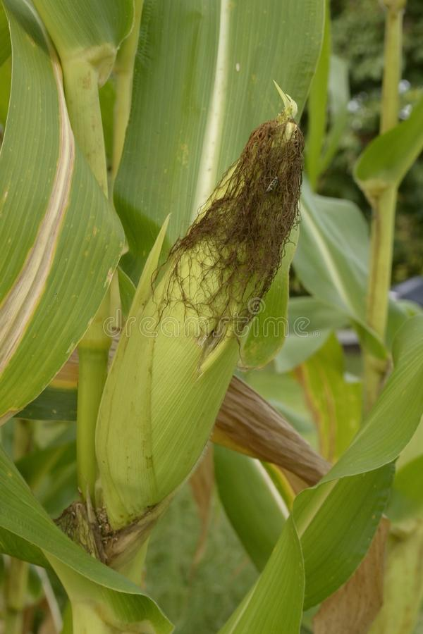 Download Corn stock photo. Image of grass, natural, maize, harvest - 26513320