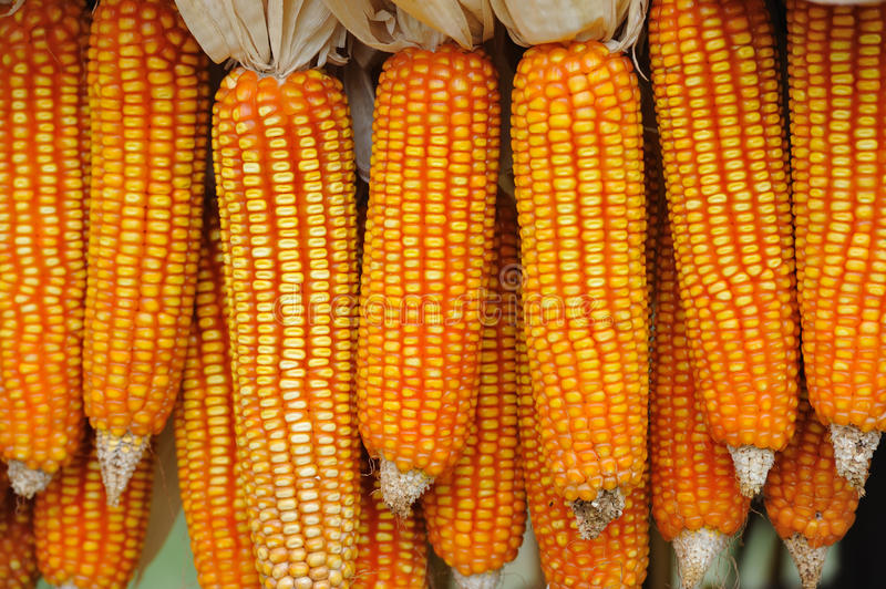 Download CORN Royalty Free Stock Photos - Image: 28429278