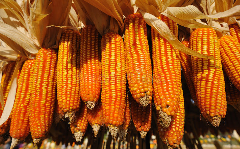 Download CORN Stock Photography - Image: 28429292