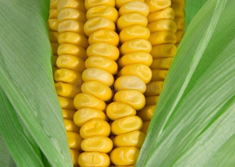 Corn Free Stock Photography