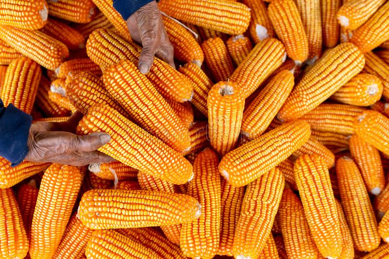 Corn for animal feed, Corn harvest farmer, Organic Farming, Food and Vegetable Production stock photo