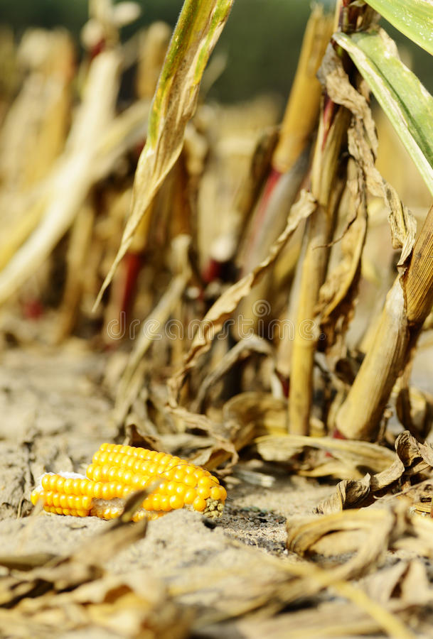 Corn as biomass stock photography
